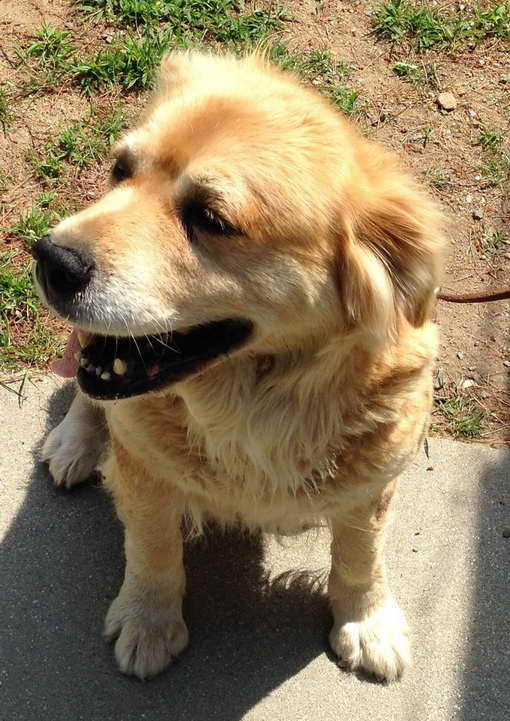 Golden Retriever Rescue Ct East Lyme