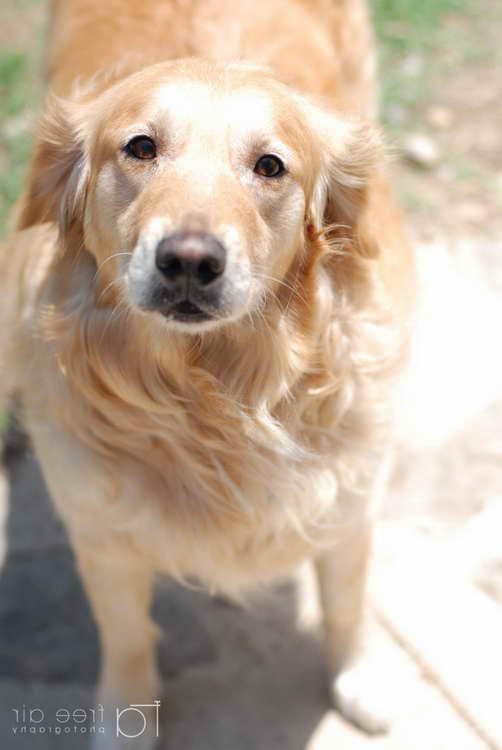 Golden Retriever Rescue Memphis