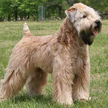 Golden Wheaten Terrier Puppies For Sale