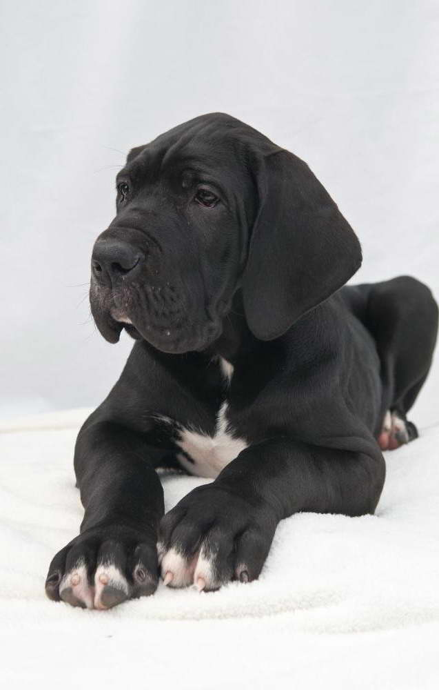 Great Dane Adoption Ny