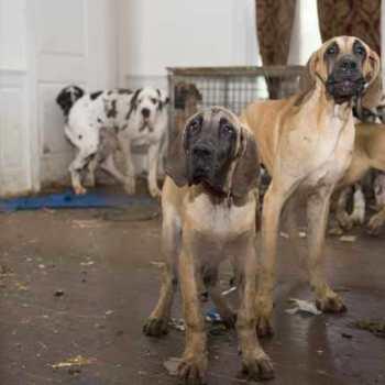 Great Dane Dog Rescue