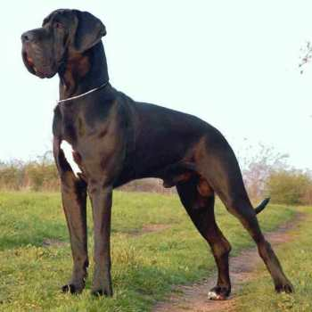 Great Dane English Mastiff Mix Puppies For Sale