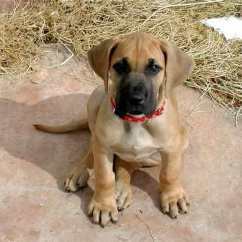 Great Dane Fawn Puppies