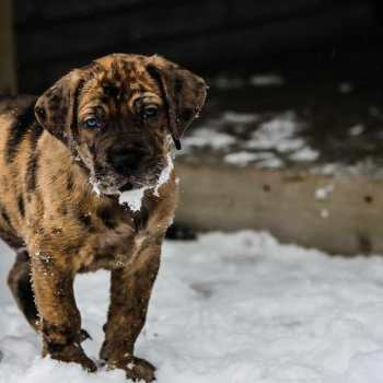 Great Dane Mastiff Mix For Sale