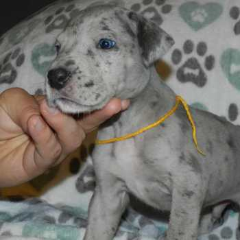 Great Dane Puppies Illinois