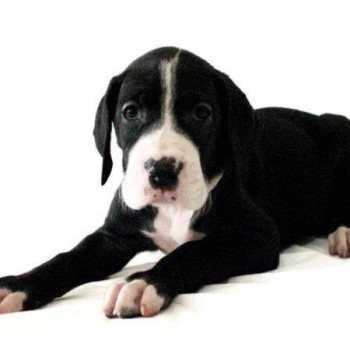 Great Dane Puppies San Antonio Texas