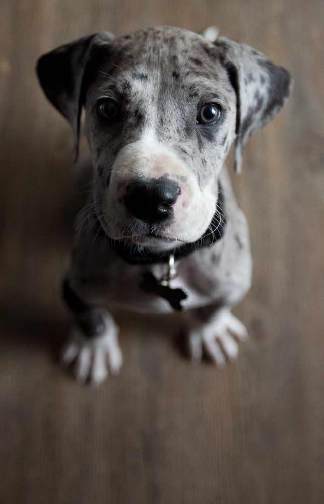 Great Dane Puppies Washington State