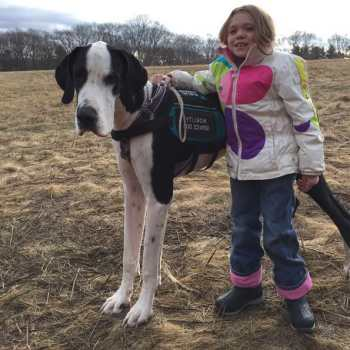 Great Dane Therapy Dog
