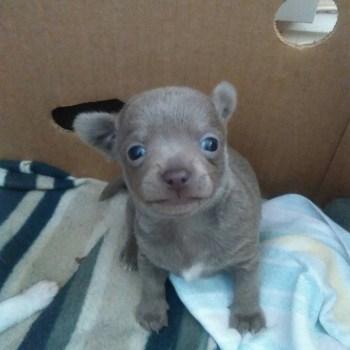 Grey Chihuahua Puppies