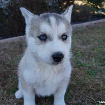 Grey Husky Puppies For Sale