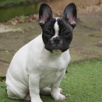 Half French Bulldog Half Boston Terrier