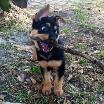 Half Rottweiler Half German Shepherd For Sale