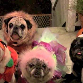Halloween Pug Pictures