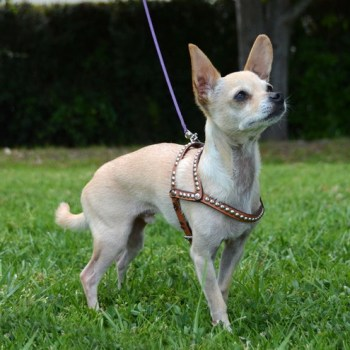 Harness For Chihuahua