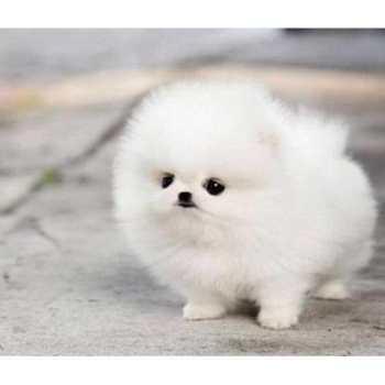 Hero Pomeranian For Sale