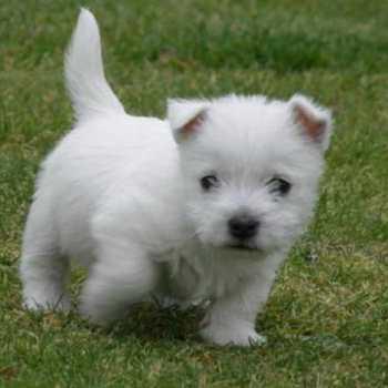 Highland Terrier Puppies