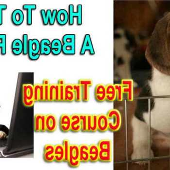 House Train A Beagle