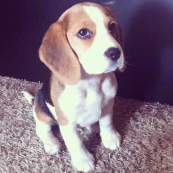 Housetraining A Beagle