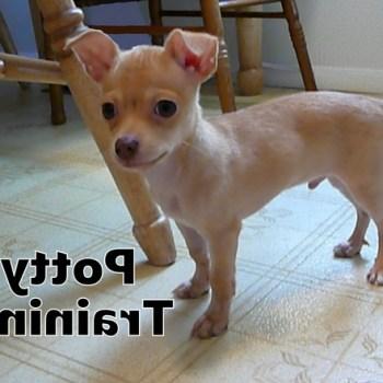 Housetraining A Chihuahua