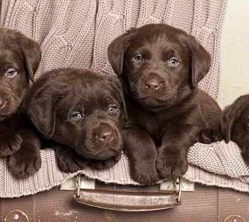 How Do You Get A Chocolate Labrador