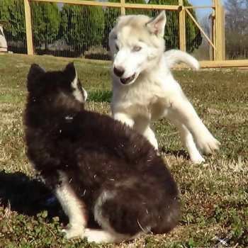How Much A Husky Cost