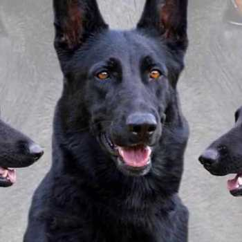 How Much Are Black German Shepherd Puppies