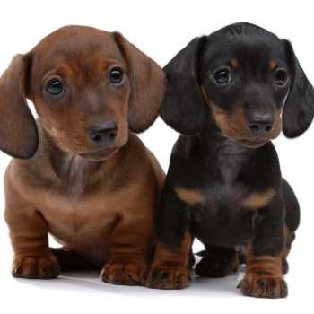 How Much Are Dachshund Puppies