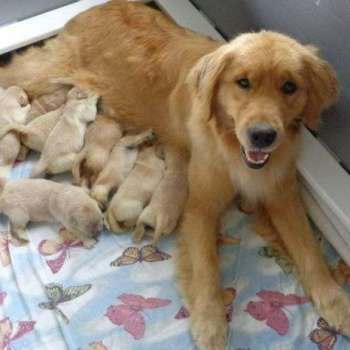How Much Are Golden Retriever Puppies Worth