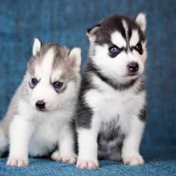 How Much Are Miniature Husky