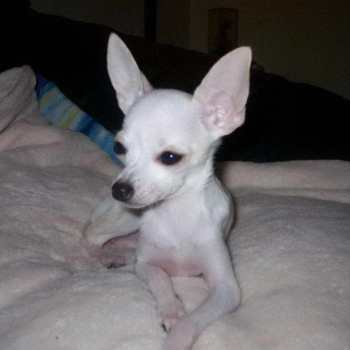 How Much Are Teacup Chihuahua