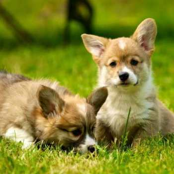 How Much Are Welsh Corgi Puppies