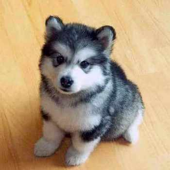 How Much Is A Baby Husky