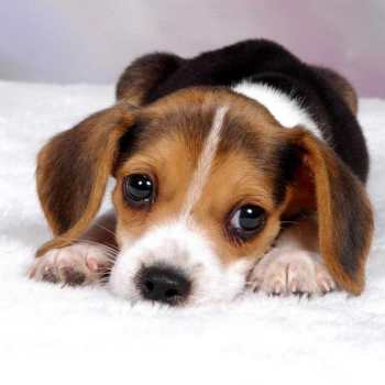 How Much Is A Beagle Puppy