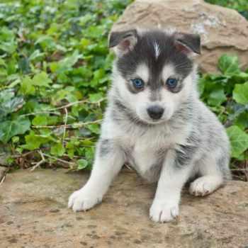 How Much Is A Husky Pomeranian