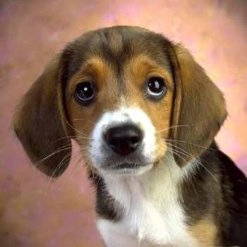 How Much Should A Beagle Eat A Day