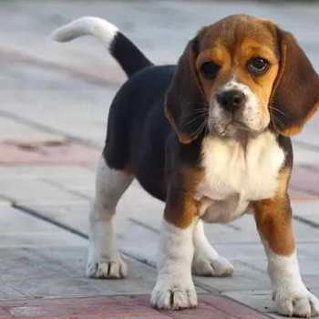 How Much To Feed A Beagle Per Day