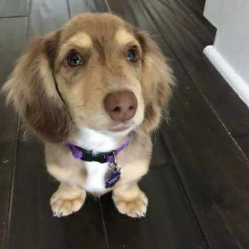 How Much To Feed A Miniature Dachshund Puppy