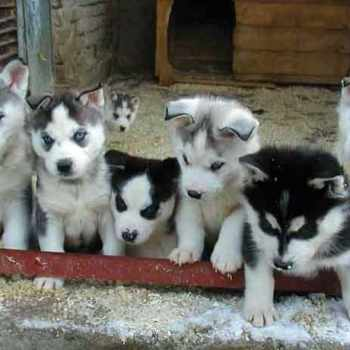 How To Care For A Husky Puppy