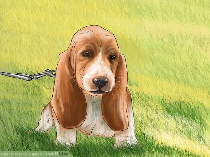 How To Potty Train A Basset Hound Puppy
