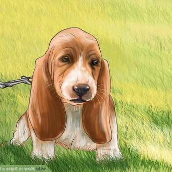 How To Potty Train A Basset Hound
