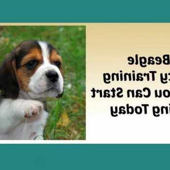 How To Potty Train A Beagle Puppy