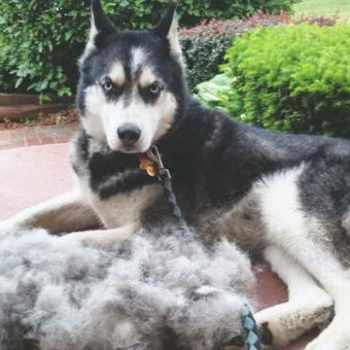 How To Stop Husky From Shedding