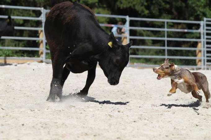 How To Train A Catahoula Cow Dog