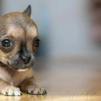 How To Train A Chihuahua