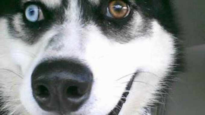 Howl At The Moon Husky Rescue