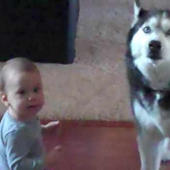 Husky And Baby Talking