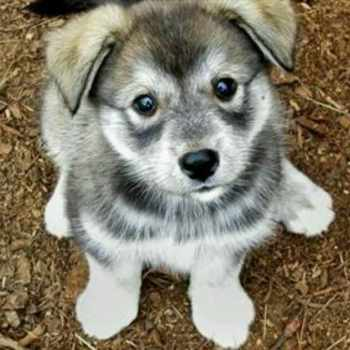 Husky And Wolf Mix Puppies