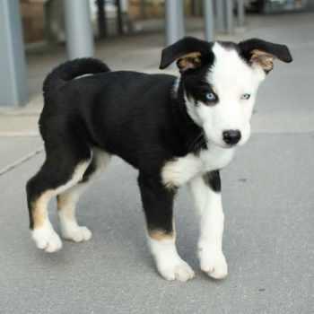 Husky Beagle Mix For Sale
