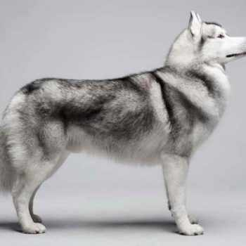 Husky Breed Info