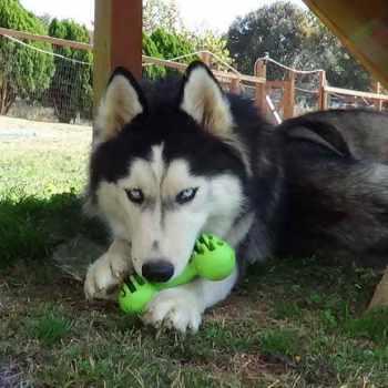 Husky Chew Toys